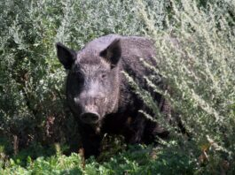 USask Professor creates pig plotted map for locating wild boars on Google Earth