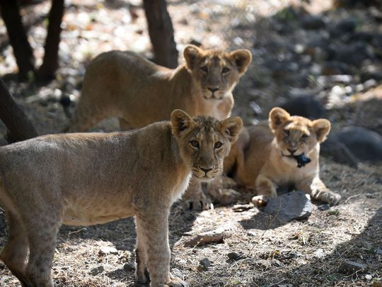 Photos: Endangered Asiatic lion prides conquer disease to roam free in Gujarat