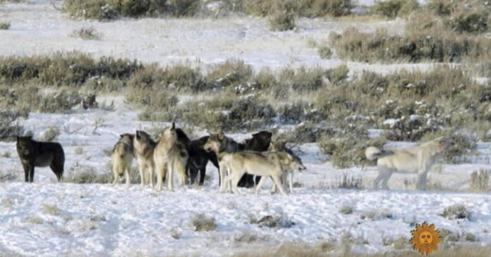 Wolves of Yellowstone - CBS News